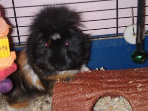Mr piggy black orange and white guinea pig