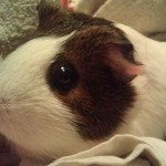 Our other guinea pig, Baby Ham. She's a little sweetheart.