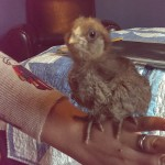 Elvira is now ready to get out of the brooder and stretch her wings