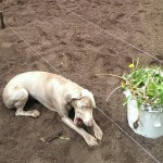 2015 Garden Project Planing our Garden with Puppy Help
