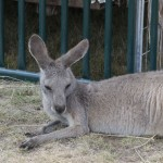 Kangaroo resting in the heat at the Marquette County Fair 2015