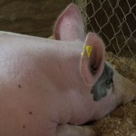 One of the pigs for auction during Win the Meat at the Marquette County Fair 2015