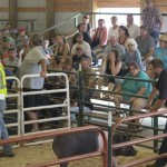 One of the pigs for sale at the 4-H livestock auction during the Marquette County Fair 2015