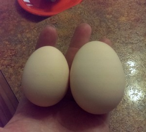 Backyard Chicken Free Range Eggs might be a Double Yoke