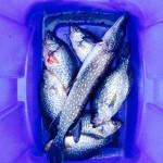 crappies and pike fresh catch