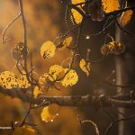 Golden Hour against the Apsen Leaves of Colorado - Jessica Dobbs - Intrique Photography