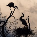 Matting Herons from Crosswinds Marsh in Michigan - Bob Panick