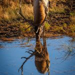 Elk and his reflect, Rocky Mountain National Park, Colorado - Bob Panick