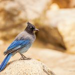 Stellers Jay in Rocky Mountain National Park, Colorado - Jeffrey Dobbs - Intrigue Photography
