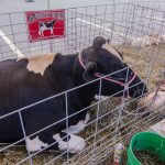 Devooght's Family Farm Petting Zoo Brought a cow