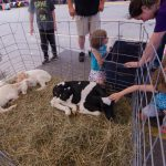 A calf receiving a lot of attention.
