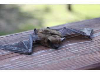 Lynn Sutfin of the MDHHS Reports More Bats Testing Positive for Rabies in Michigan