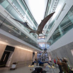 The Quetzalcoatlus northropi model is hoisted into place in an atrium at the U-M Biological Sciences Building, the new home of the university's Museum of Natural History. The 700-pound model was raised three stories into the air this week by fossil installation experts at Research Casting International of Toronto. Photo by Roger Hart/Michigan Photography.