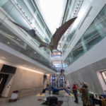 A life-size model of a prehistoric pterosaur is hoisted into place in a five-story atrium at the university's new Biological Sciences Building, the new home of the university's Museum of Natural History, which will reopen next spring. The creature, Quetzalcoatlus northropi, lived about 67 million years ago and was the largest known flying animal, with a 35-foot wingspan. The 700-pound model is a hand-painted fiberglass cast with an internal steel armature. Photo by Roger Hart/Michigan Photography.