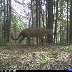 Confirmed Cougar sighting in Marquette County