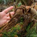 Giant Spider (Photo by Piotr Naskrecki)