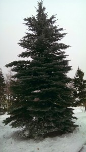 This beautiful 30' Blue Spruce is the township's new Christmas Tree!