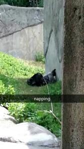 lazy gorilla