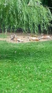 lazy kangaroos