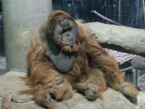 lazy ape