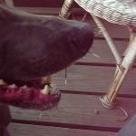 Dog Arlo Mr. Porcupine Super Villian Quil Victim 03
