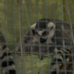 Ring Tailed Lemurs at the Marquette County Fair 2015