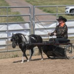 One of the contestants and her beautiful paint mini driving during the horse show 2015