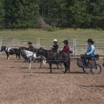 The line up during miniature horse driving at the Marquette County Fair 2015