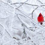 Northern Cardinal; Cardinalis cardinalis; male, Metamora, Michigan  - David Stimac Photography