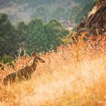 Colorado Mule Deer in the tall grasses - Jessica Dobbs - Intrique Photography