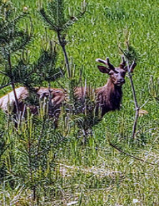 DNR seeks reports of bull elk from Menominee County June 16, 2020